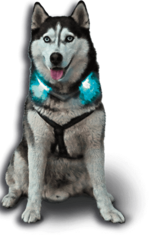 Husky Diego with a luminous collar LEUCHTIE Plus Easy Charge in turquoise
