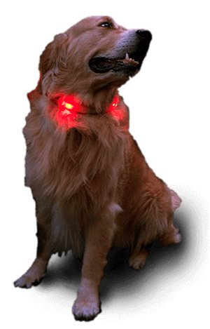 Golden Retriever with LEUCHTIE standard