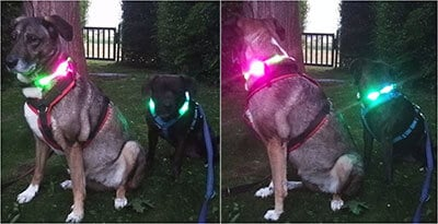 Cindy and Rico with their Bicolor LED dog collar LEUCHTIE