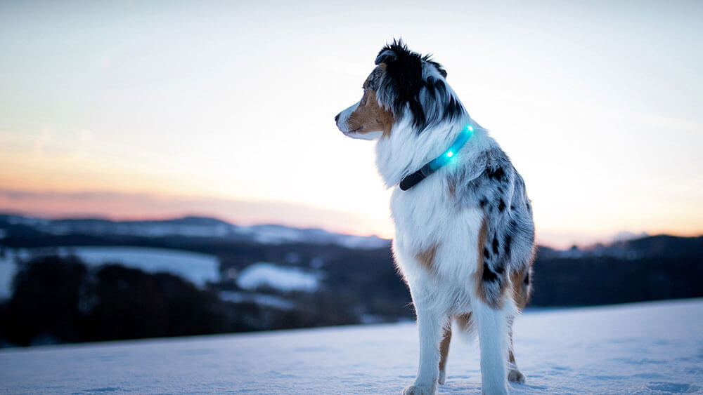 Evening winter walk with LED light collar LEUCHTIE