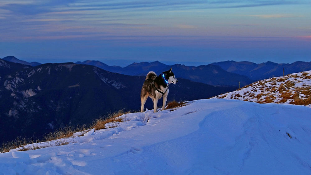 Dog with LED light collar LEUCHTIE in the snow-covered Alps