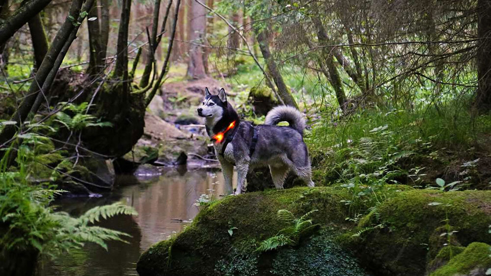 Walk in the forest with the LED light collar LEUCHTIE