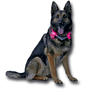 Luminous collar LEUCHTIE Premium Easy Charge in hot pink on the German Shepherd